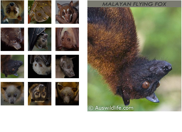galleryMalayan Flying Fox