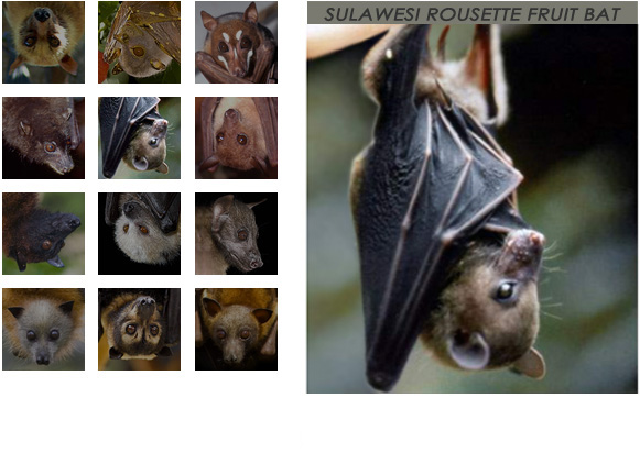 gallery Sulawesi Rousette Fruit Bat