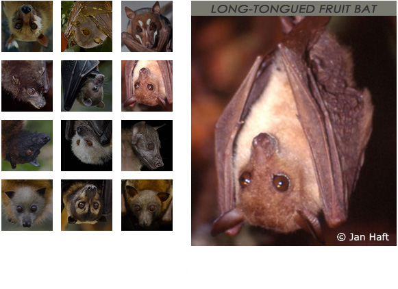 gallery Long-Tongued Fruit Bat