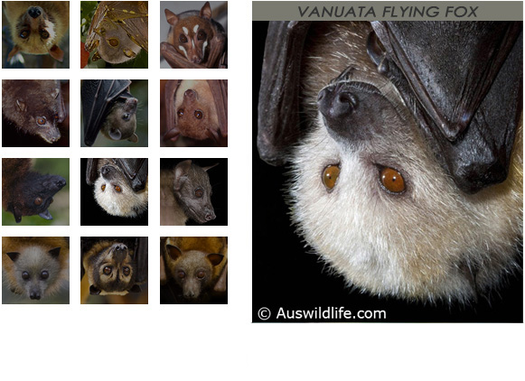 gallery Vanuata Flying Fox